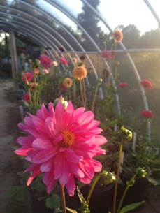 Dahlias in CA 2016